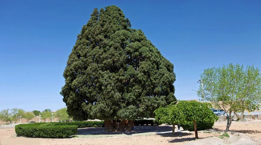 شجرة سرو ابركوه
