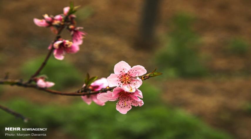 بُجنورد.. أزهار الأشجار تبتسم للربيع