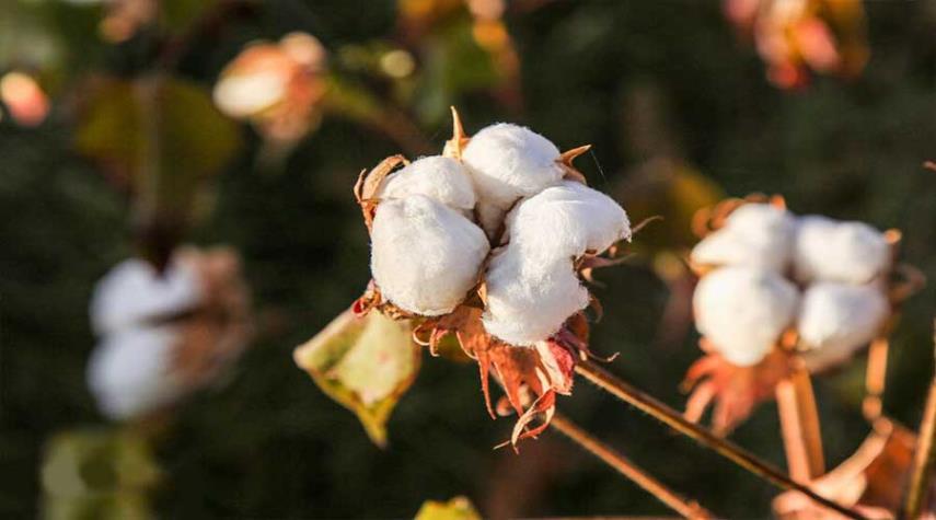 بالصور: «الذهب الأبيض» في خراسان الشمالية من الحصاد إلى الغزل
